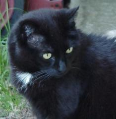 [black domestic shorthair - 11 yrs old]