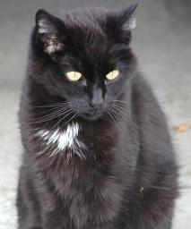 [black domestic shorthair - 13 yrs old]